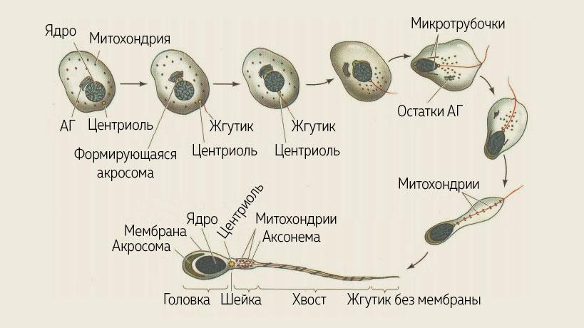 Формирование сперматозоидов