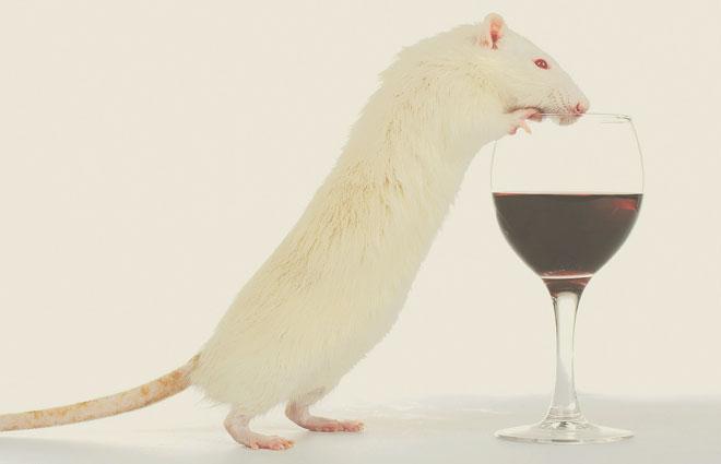Крыса и бокал вина