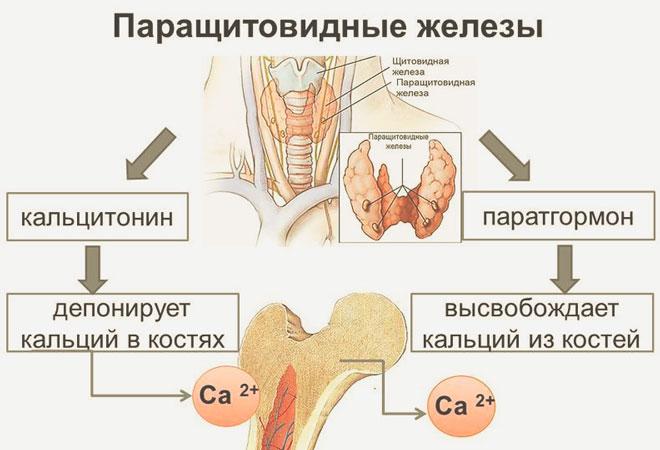 Схема противоборства кальцитонина и ПТГ