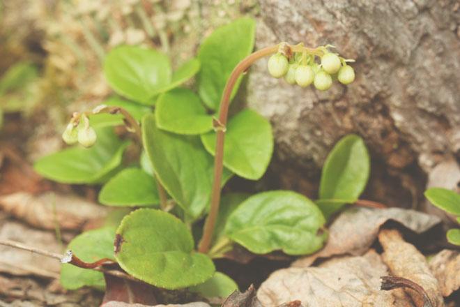Растение «Боровая матка»