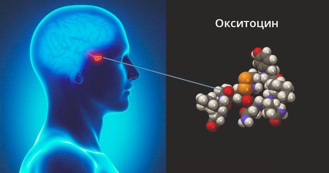 Окситоцин в мозге