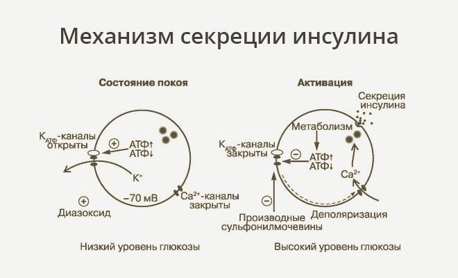 Механизм секреции инсулина