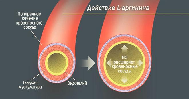 Действие l-аргинина