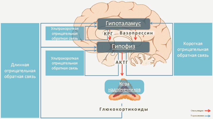 Гипоталамус-гипофиз-надпочечники