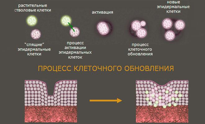 Процесс клеточного обновления