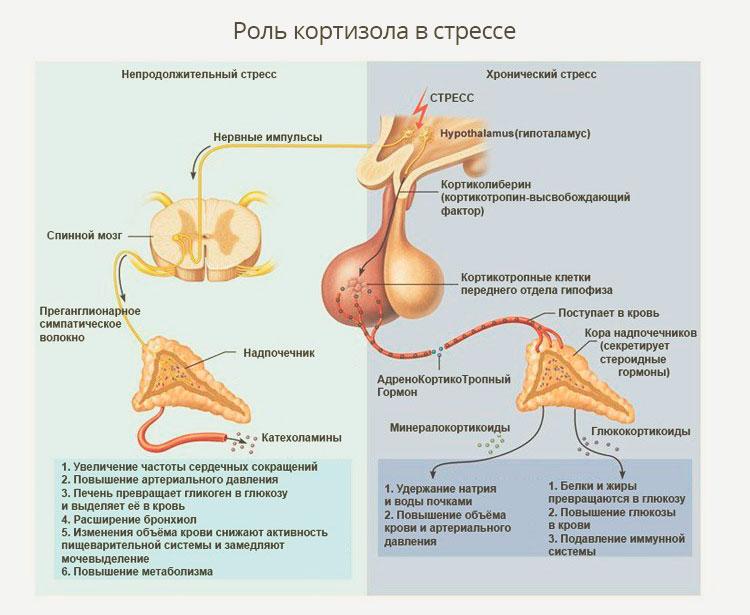 Роль кортизола в стрессе