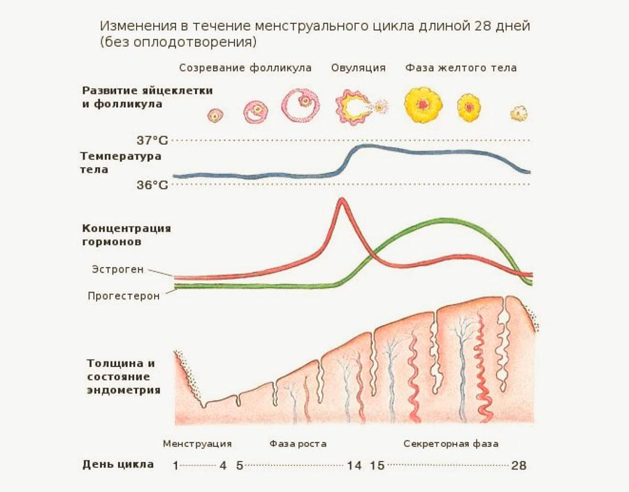 Изменения в течение менструального цикла