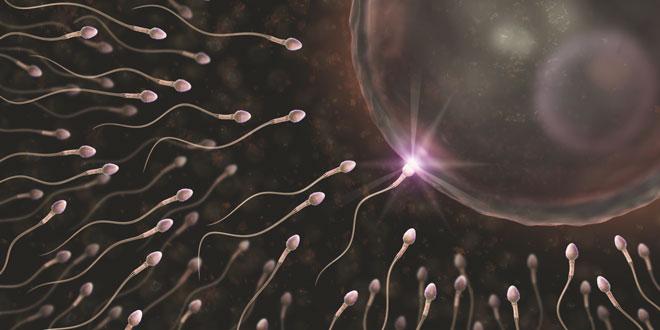 Сперматозоиды и процесс оплодотворения